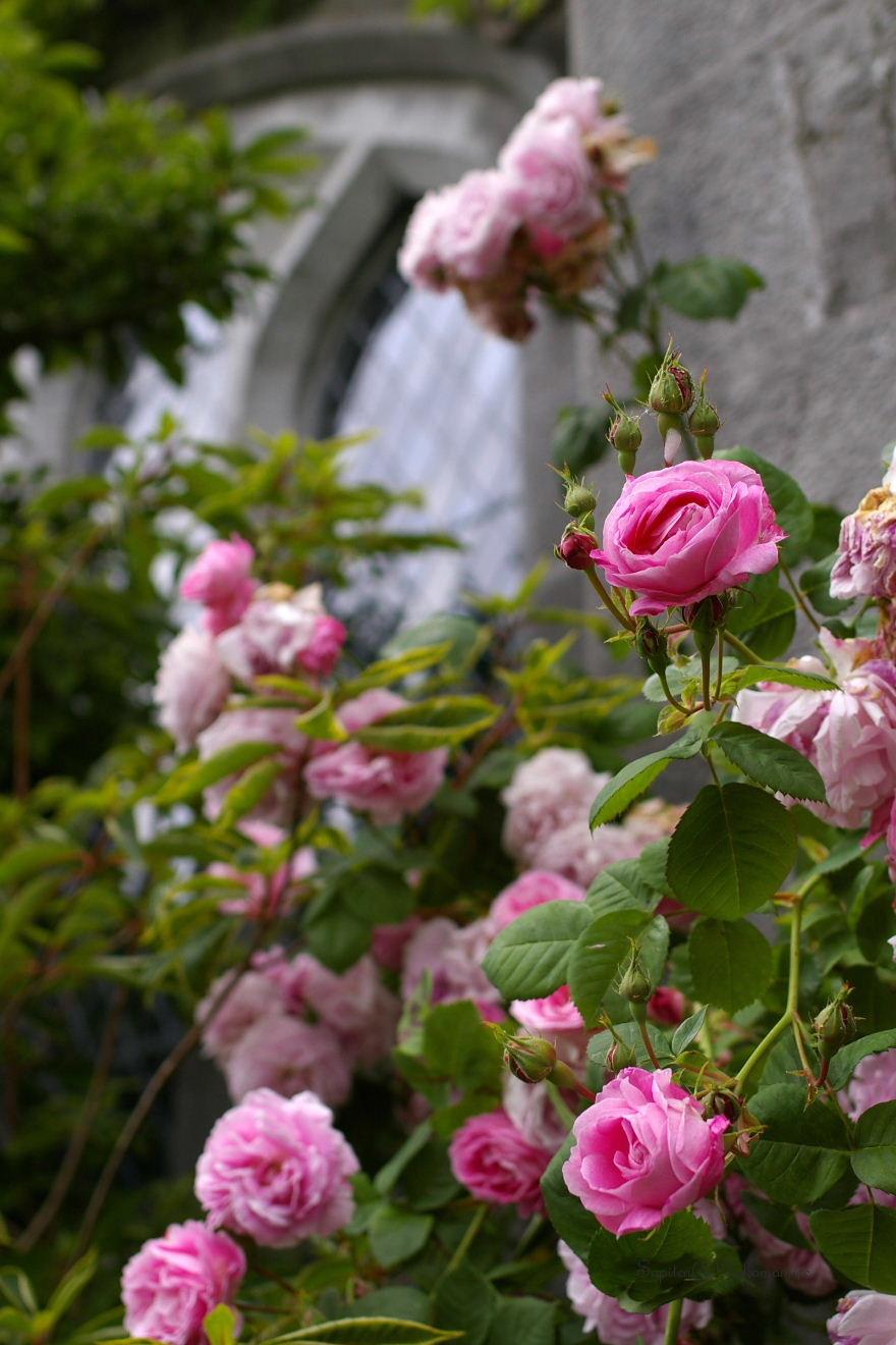 学舎の薔薇