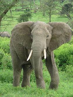 250px-Elephant_near_ndutu