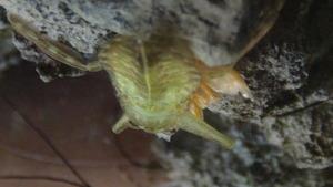クリルを捕食する3令幼虫