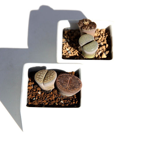 ソルバイソルの多肉植物