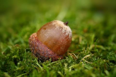 acorn-4540803_960_720