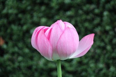1-東本願寺さんの花はす 淀姫