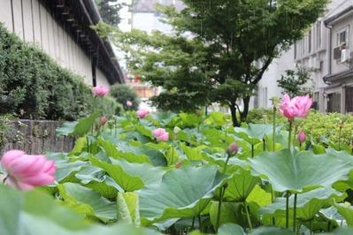 5-東本願寺さんの花はす 淀姫