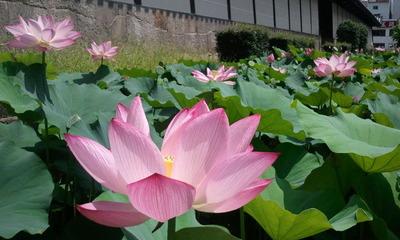 東本願寺さんの蓮