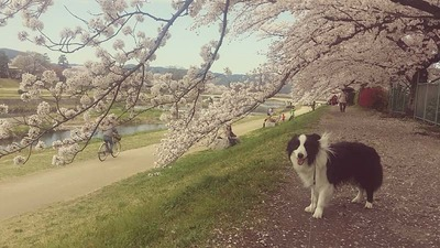 7-ゴンタくんとお花見ウォーク