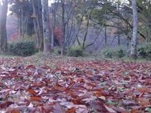 京都宝ヶ池 桜の森