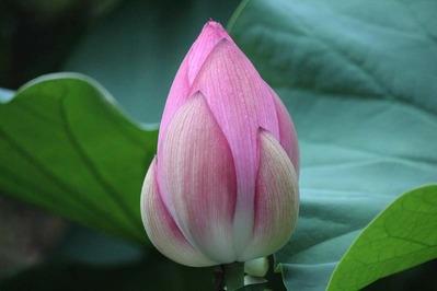 3-東本願寺さんの花はす 淀姫