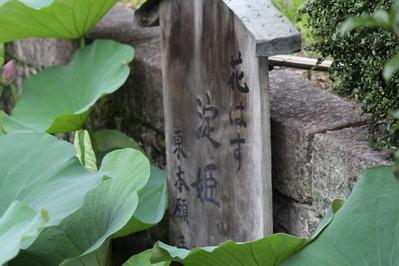 4-東本願寺さんの花はす 淀姫