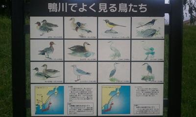鴨川でよく見る鳥たち