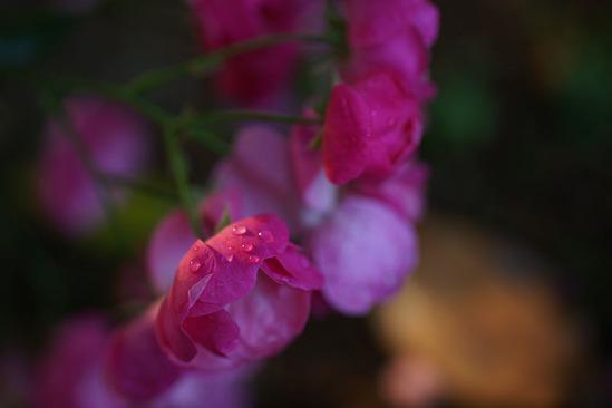 yokohama-rose-DSC07315