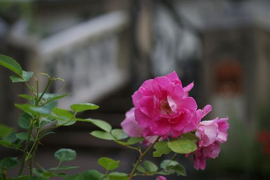 yokohama-rose-DSC07352