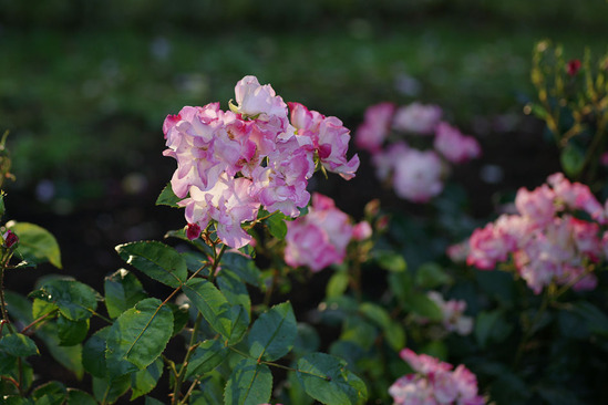yokohama-rose-DSC07263