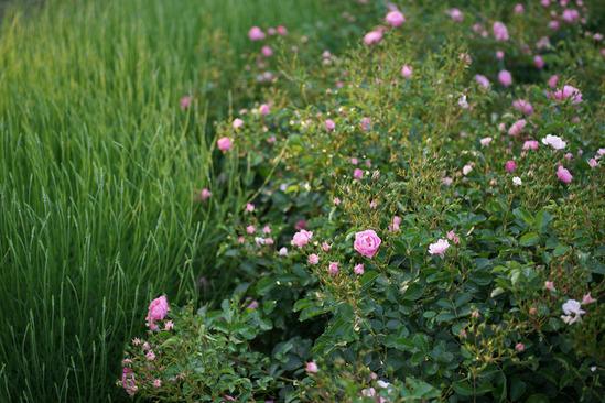 yokohama-rose-DSC07295