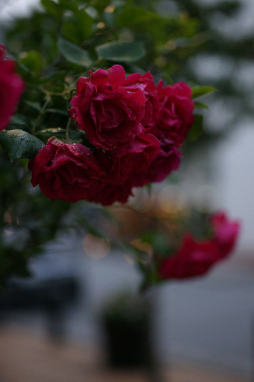 yokohama-rose-DSC07434