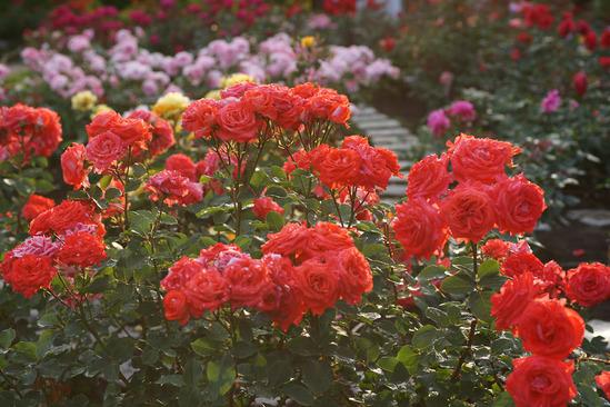 yokohama-rose-DSC07283