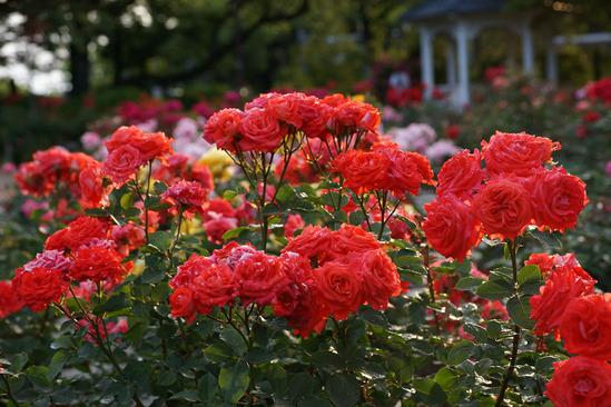 yokohama-rose-DSC07285