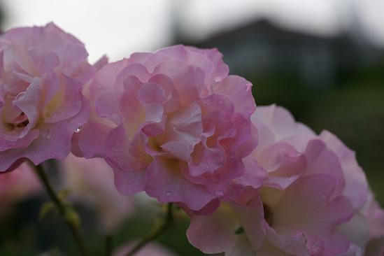 yokohama-rose-DSC07342