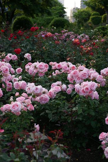 yokohama-rose-DSC07288