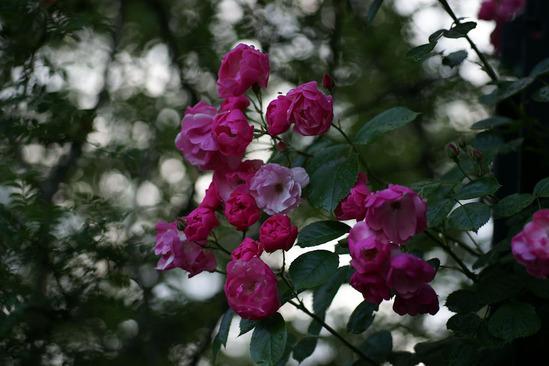 yokohama-rose-DSC07225