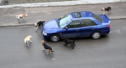 走り出そうとしている自動車に犬の群れが近づく