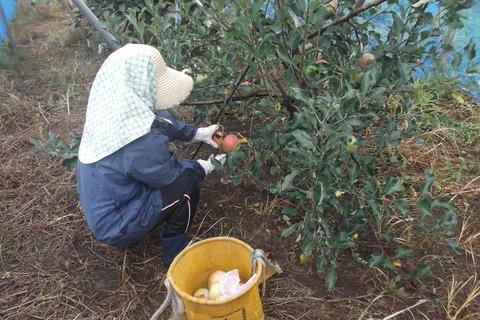 リンゴ収穫-2