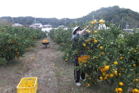 ミカン収穫-1
