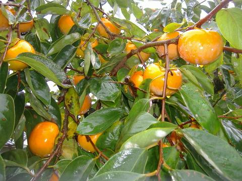 11月富有柿