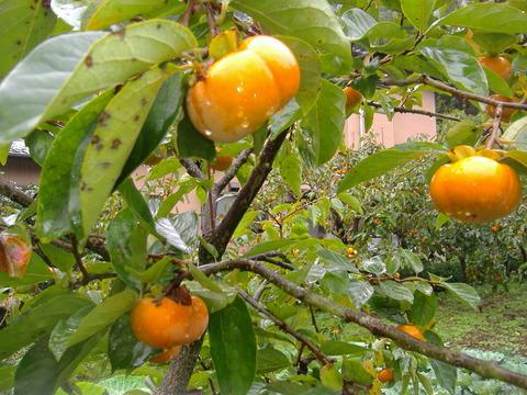 11月次郎柿