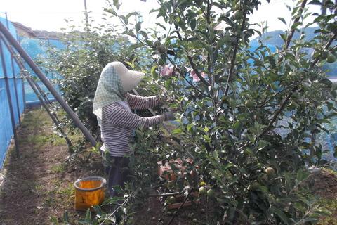 リンゴに袋をする