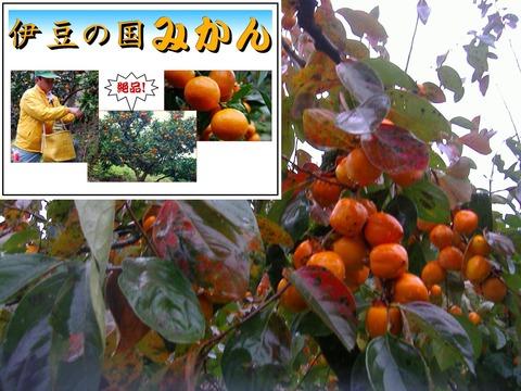 11月四つ溝柿