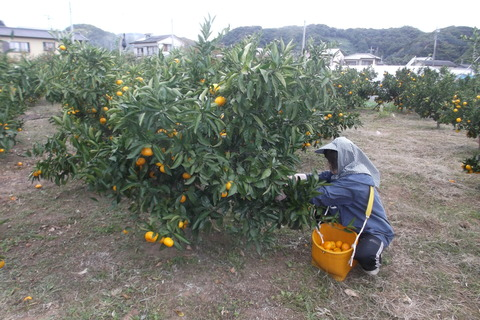 ミカン収穫-2