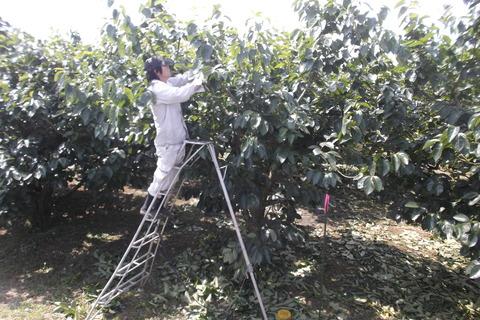 柿の芽かき作業