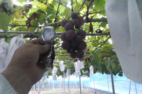 6葡萄ピオーネ完熟