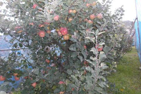 30リンゴ富士