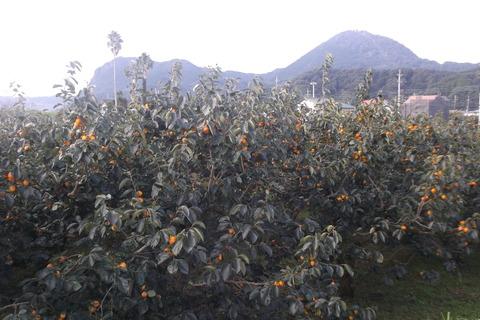 天野の柿畑