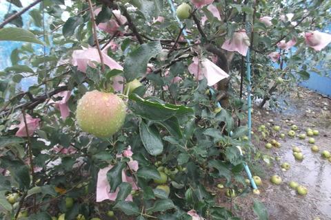 りんご-2