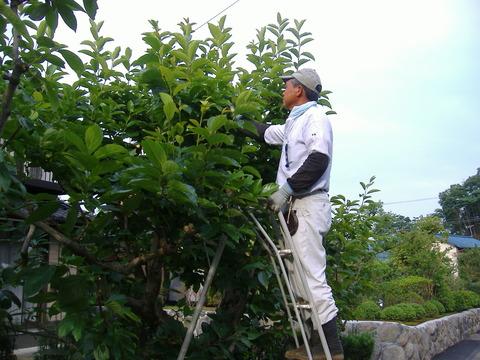 柿の摘果と芽かき