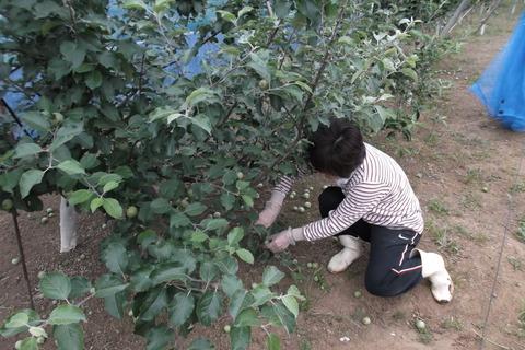 林檎摘果作業