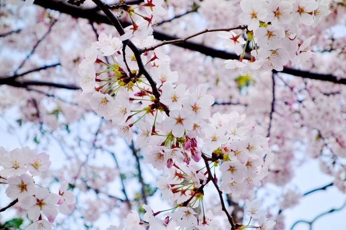 桜(2015年)