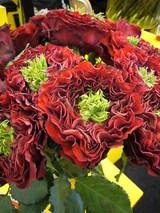 新種のバラ