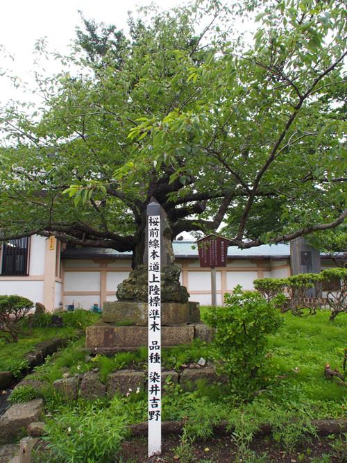 h305桜前線本道上陸標準木の染井吉野