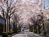 南が丘の桜01