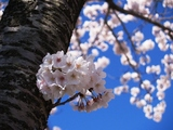 南が丘の桜02