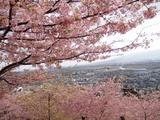 松田町桜祭り