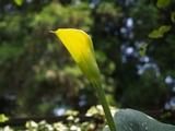 黄色いカラー