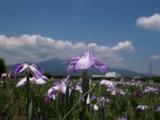 花ショウブ大山