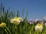 花ショウブ黄