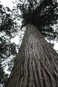 400年生の杉 見上げ