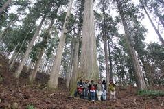 400年生の杉