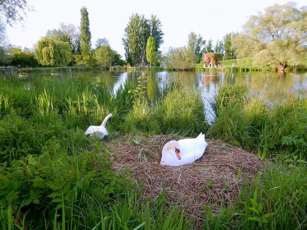 swan_6